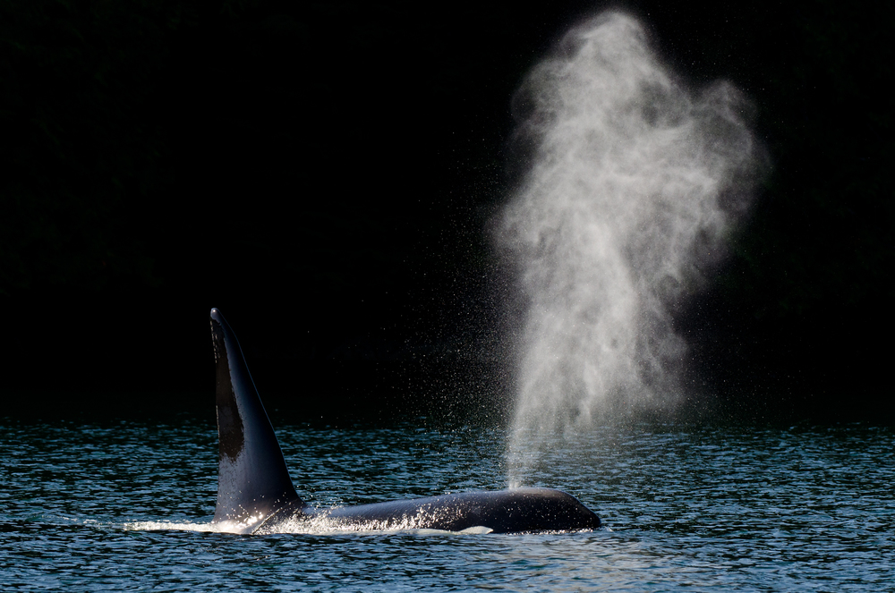 A bull orca, distinguishable by its enormous dorsal fin, exhales at the surface.