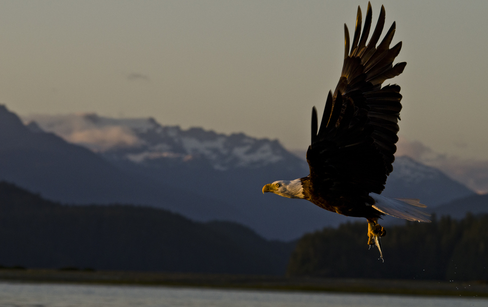 A bald eagle flying back to its nest with a fish in front of snow capped mountains at last light