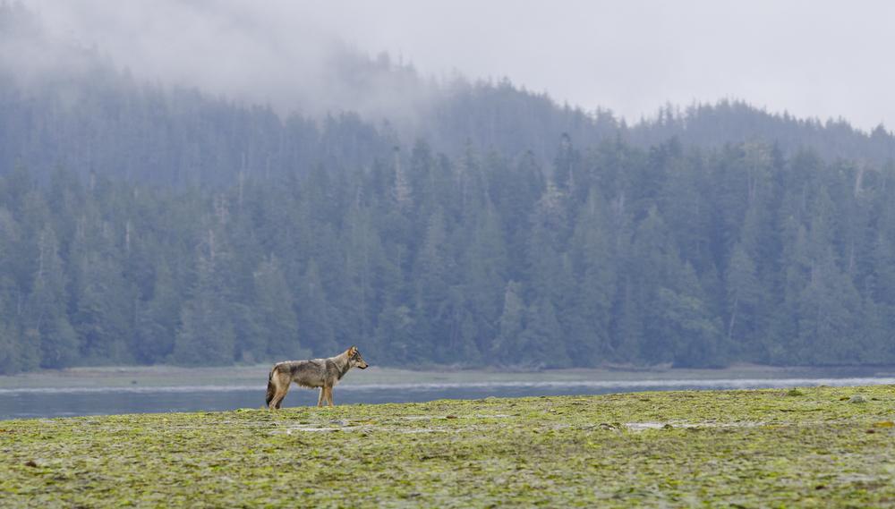 A coastal grey wolf patrols her territory at low tide.