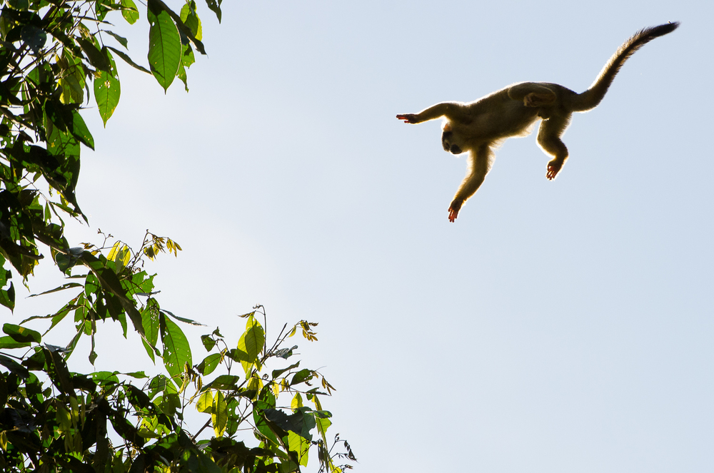 A squirrel monkey leaping from tree to tree.