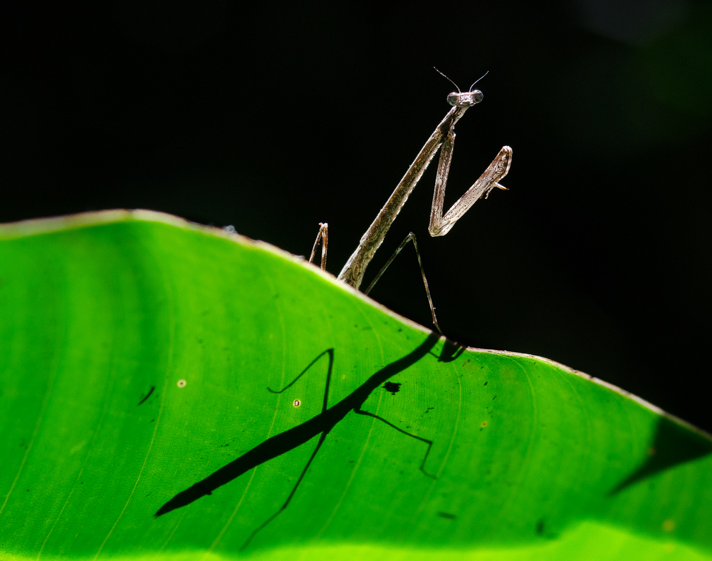 A praying mantis showing off its enlarged forelimbs, specialised for catching insect prey
