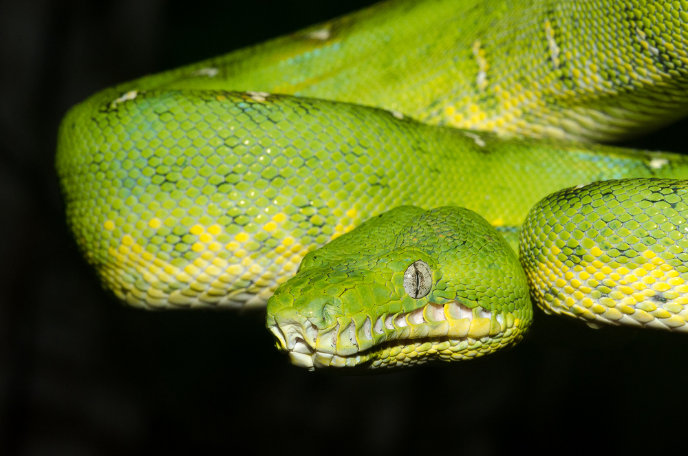 The stunning emerald tree boa. Although boas look fierce they aren't actually venomous, instead they suffocate their prey by constriction!