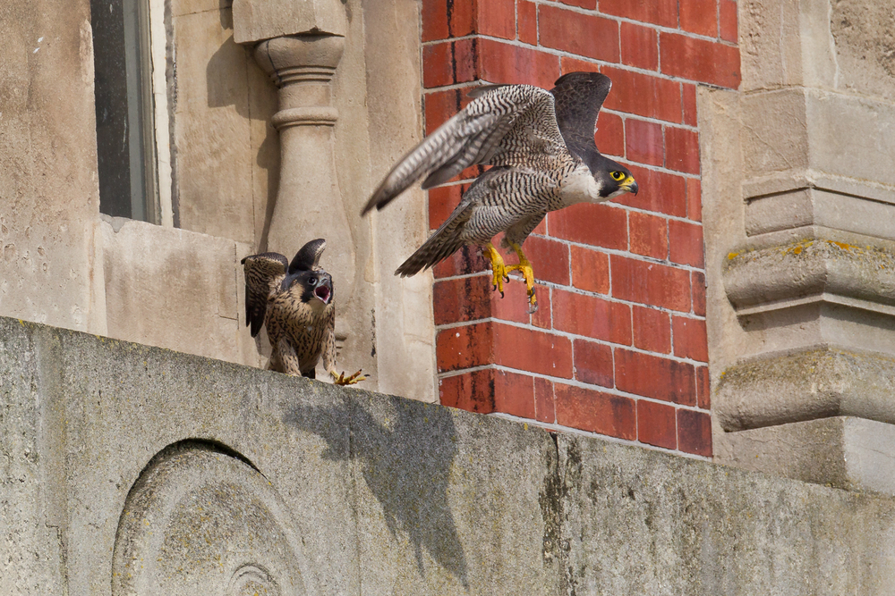 A juvenile male peregrine falcon calls as its parent  takes flight.