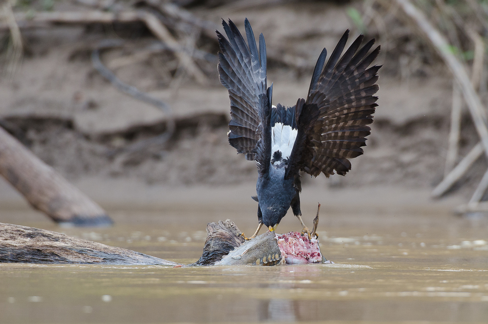 A great black hawk ripping into a fish on the Manu river.