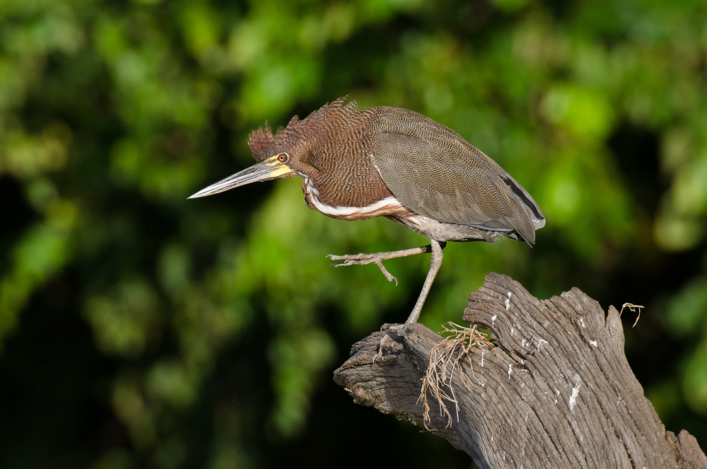 An adult rufescent tiger heron.
