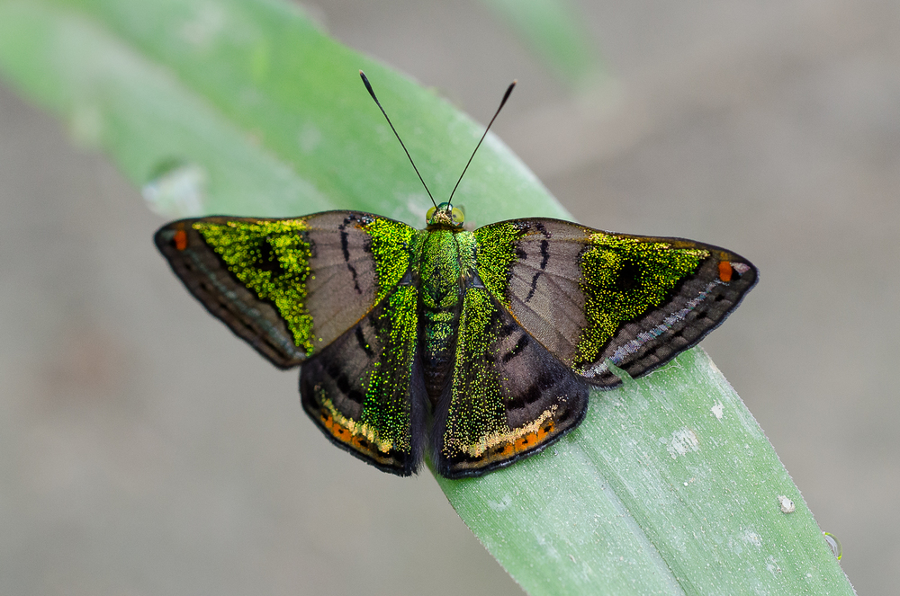 The stunning green mantle butterfly.