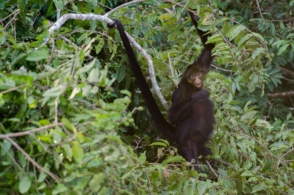 The prehensile tail of the spider monkey allows it to seamlessly move through the forest canopy with the equivalent of 5 limbs.