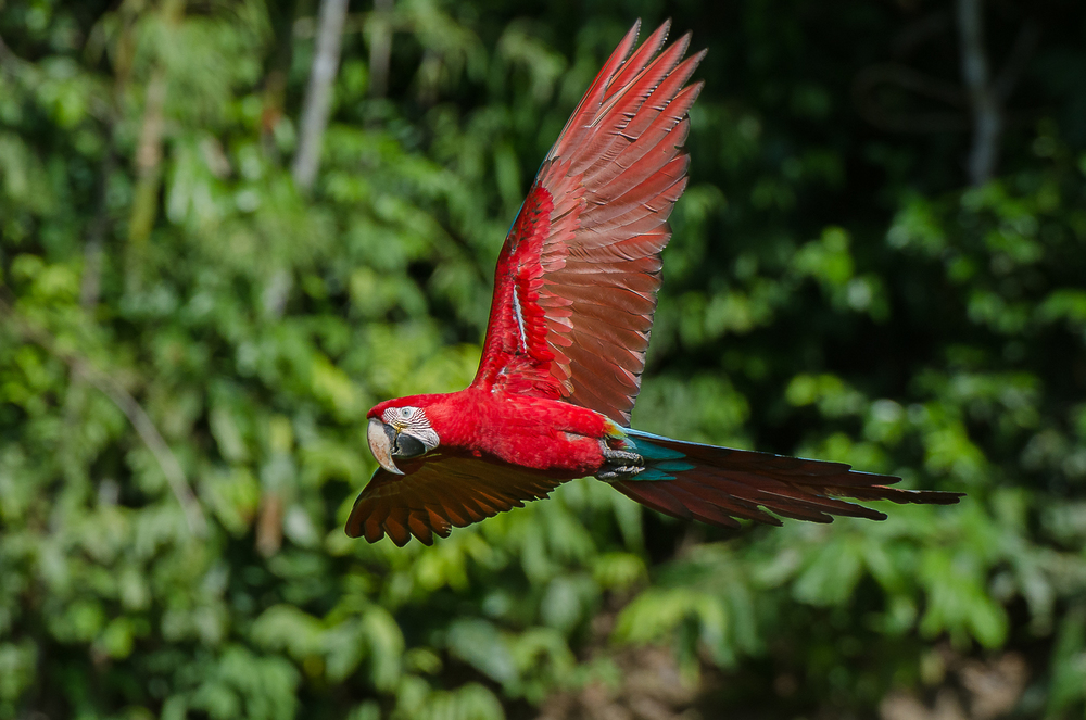 A red and green macaw flying in to feed at a claylick.