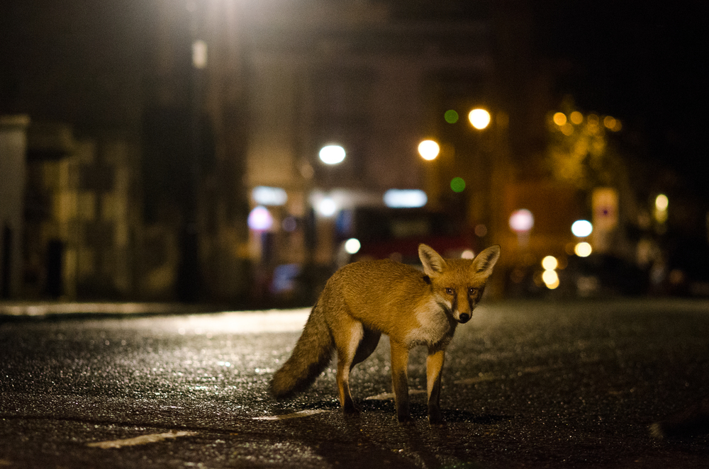 An urban red fox in central Bristol