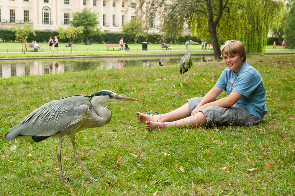 A young boy watches grey herons in a central London park.