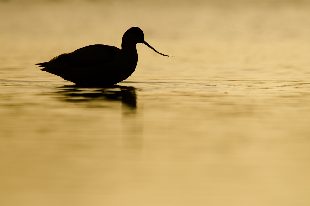 06_Sunrise_Avocet.jpg