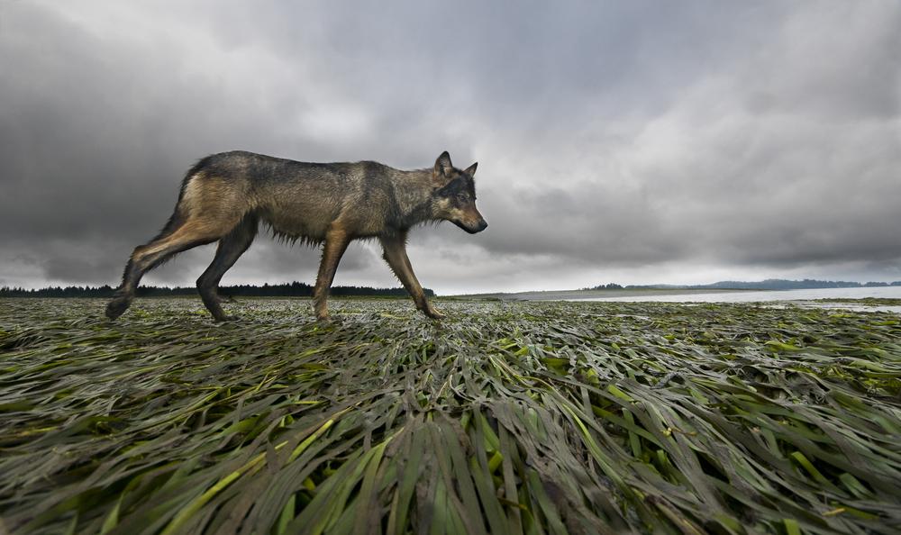 A female coastal grey wolf surveys her mudflat territory at low tide