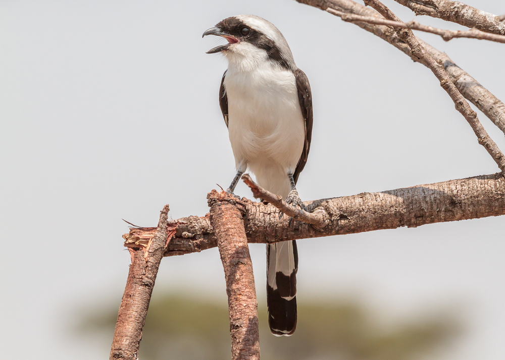 Grey Backed Fiscal Shrike