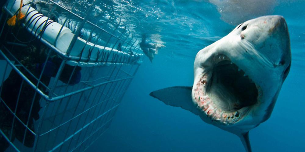 White-Shark-1.jpg
