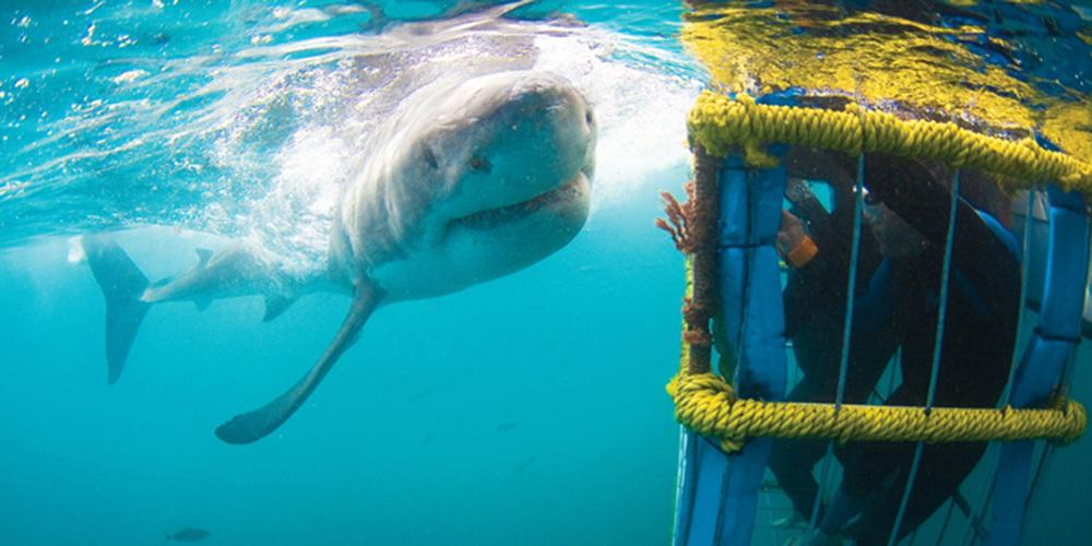 White-Shark-2.jpg