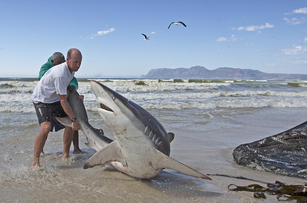 Chris aloitti haiden merkitsemisen 1989 sekä haiden vapautusprojektin paikallisella rannalla, jossa hait merkittiin ja vapautettiin kalastajien verkoista. Kalastajat näkivät Chrisin vapauttavan yli 1500 haita ja rauskua.     Kuva:  © Chris Fallows