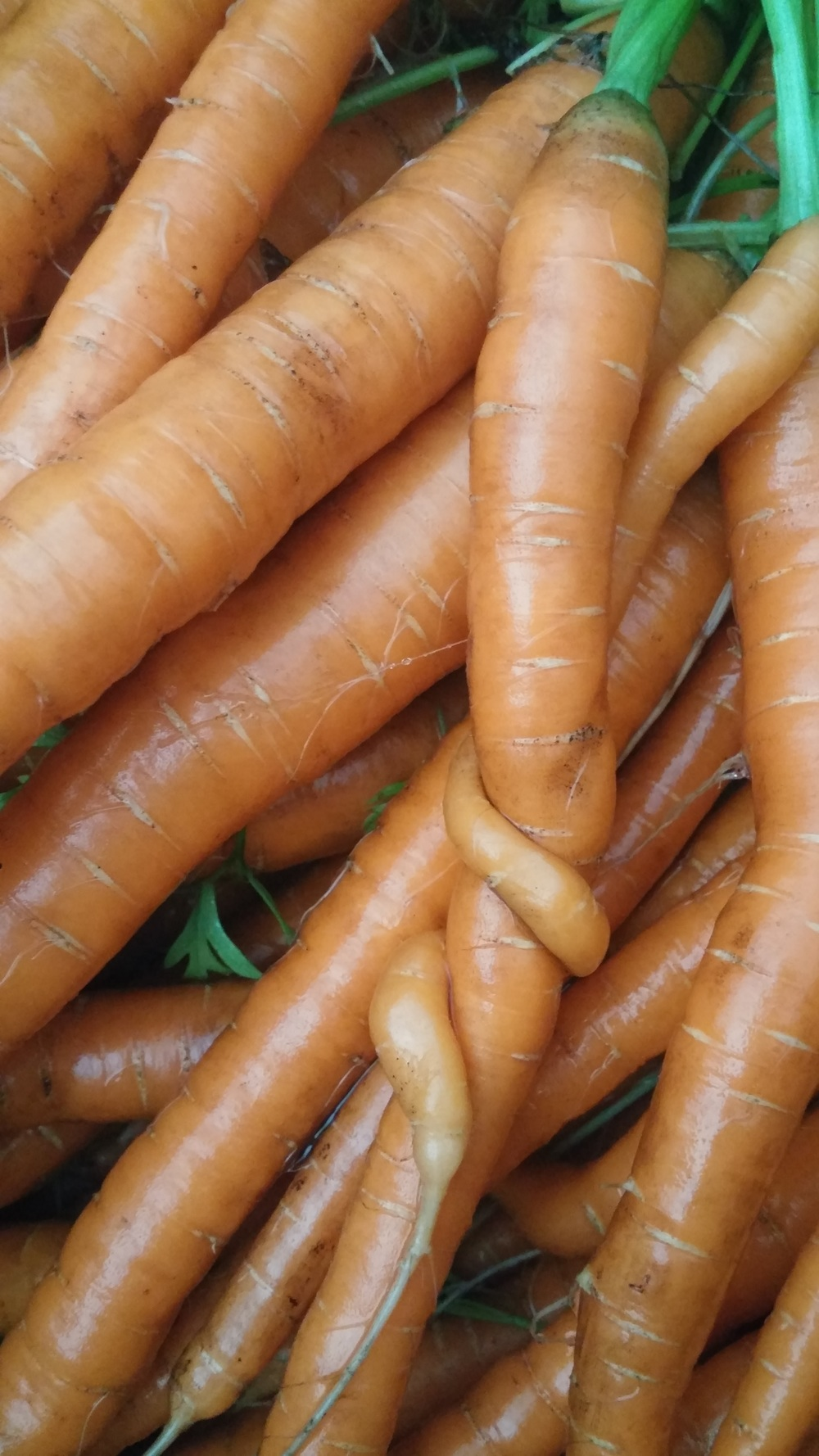 carrots entwined.jpg