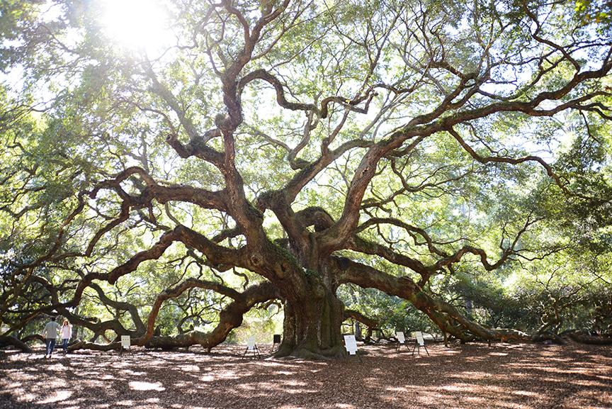 Angel Oak Tree, Johns Island, SC