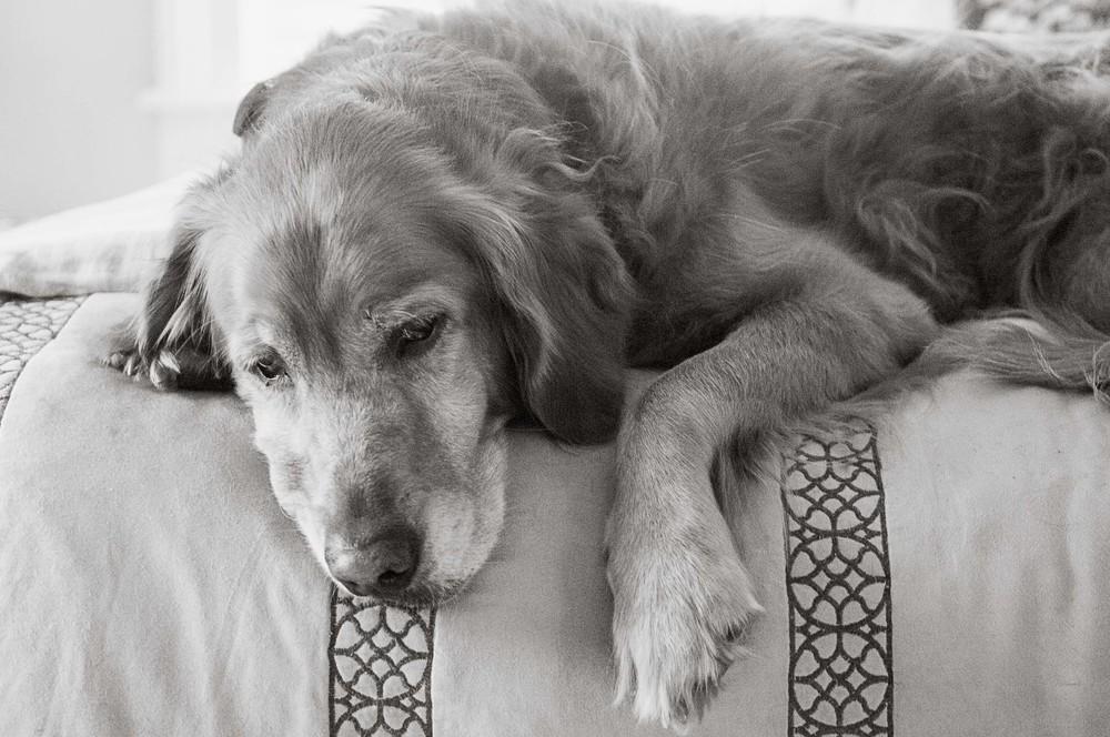belladog