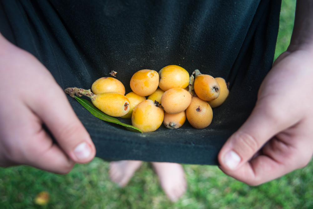 Foraging from our backyard loquat tree