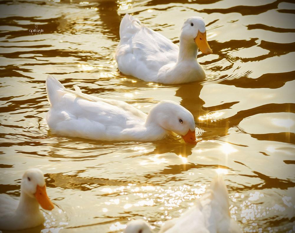 ducks1-1wtmk.jpg