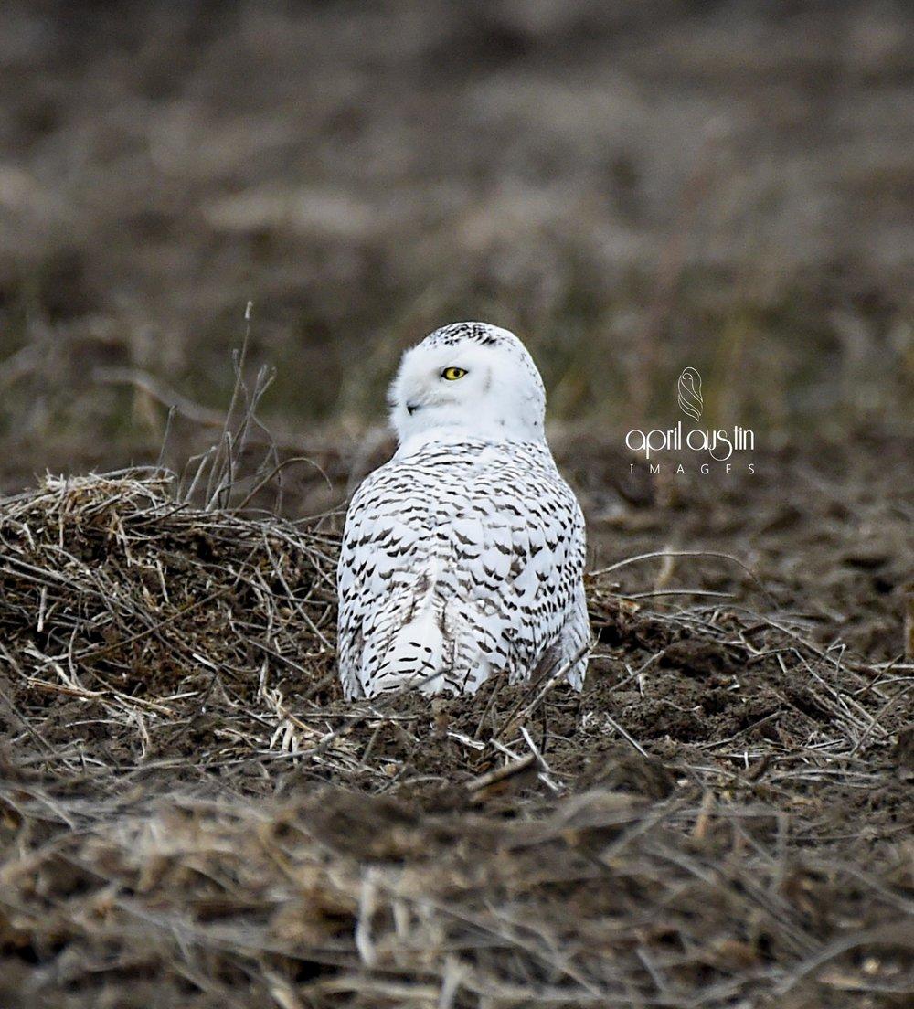 owlfinal-0490wtmk.jpg