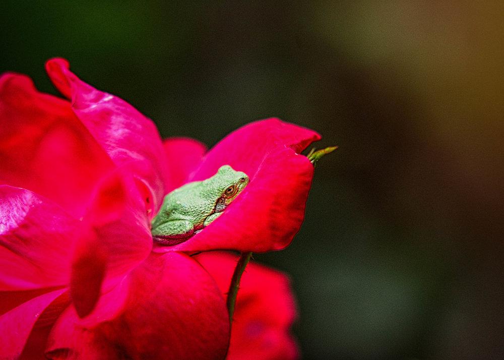 RoseFrog--2.jpg