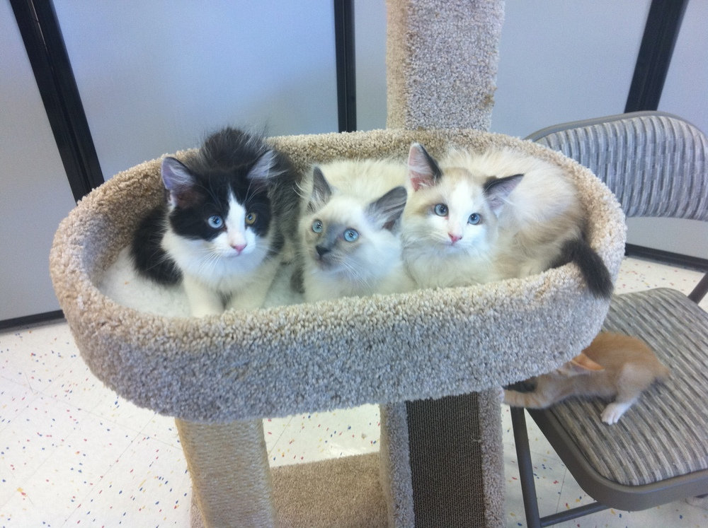 For adoption at Petco on Rosedale Hwy. \u2014 The Cat People