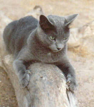 "Andrei,  a Russian Blue, was the dear companion of Joan Bondurant of Tucson, for almost 15 years. A ""perpetual kitten"", he loved his walled garden and palo verde tree."