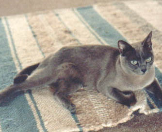 Vole    Vole, a blue Burmese, was the beloved cat of Linda Wright for almost 18 years. Tiny but oh, so funny and sweet, she was a delightful free spirit. Vole, you are dearly missed by your cousin Biscuit and by your human caretakers.