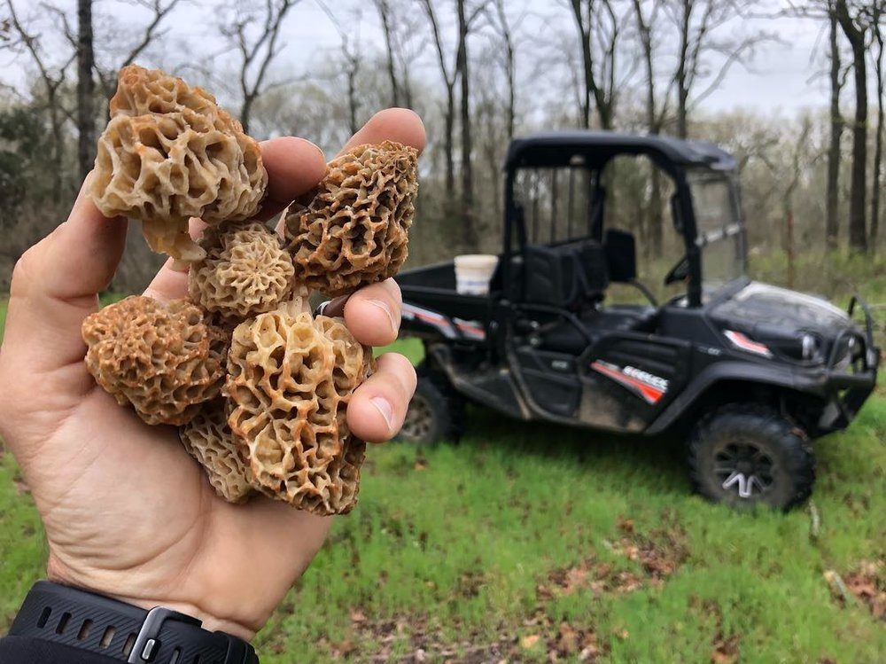 FDO Staffer Daniel Arms with a handful of morels.  That Great Plains Kubota Sidekick makes for a nice morel finder!