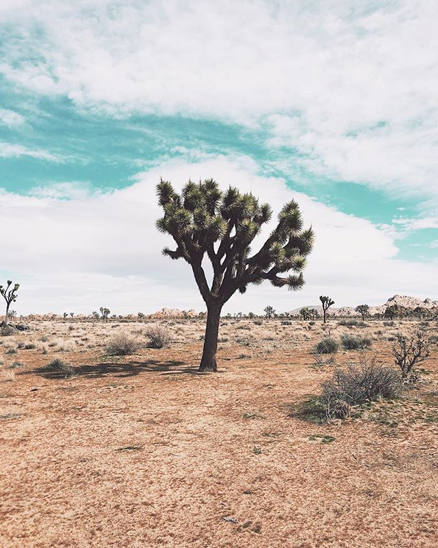 In search of U2's Joshua Tree. The problem is there seem to be several hundred thousand of them.