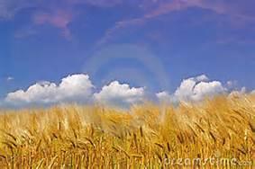 golden harvest2.jpg