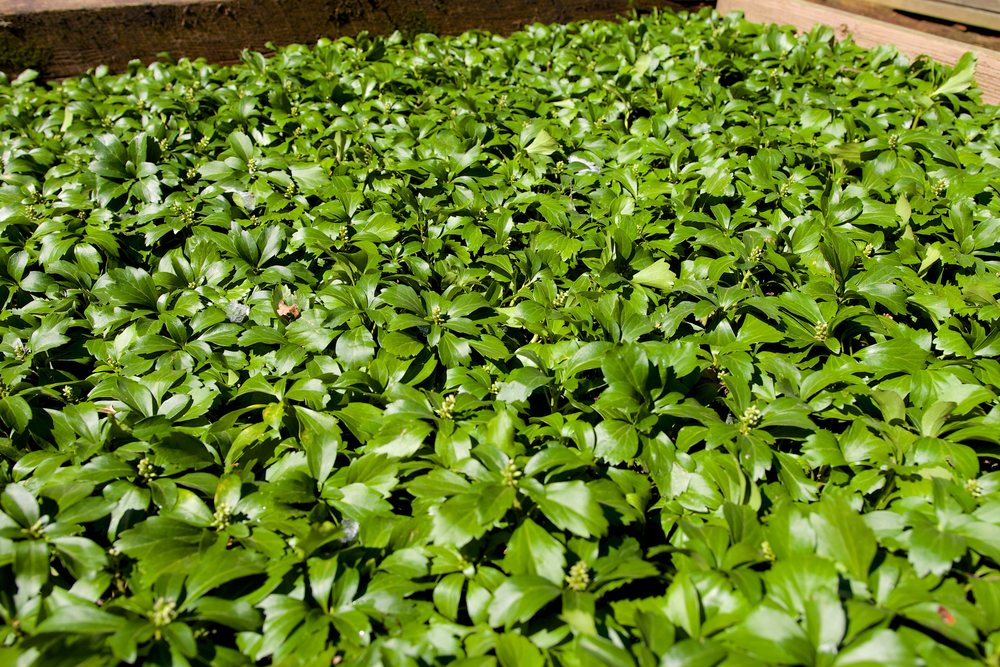 Common Pachysandra -JW Pachysandra Plants Ground Cover 126.jpg
