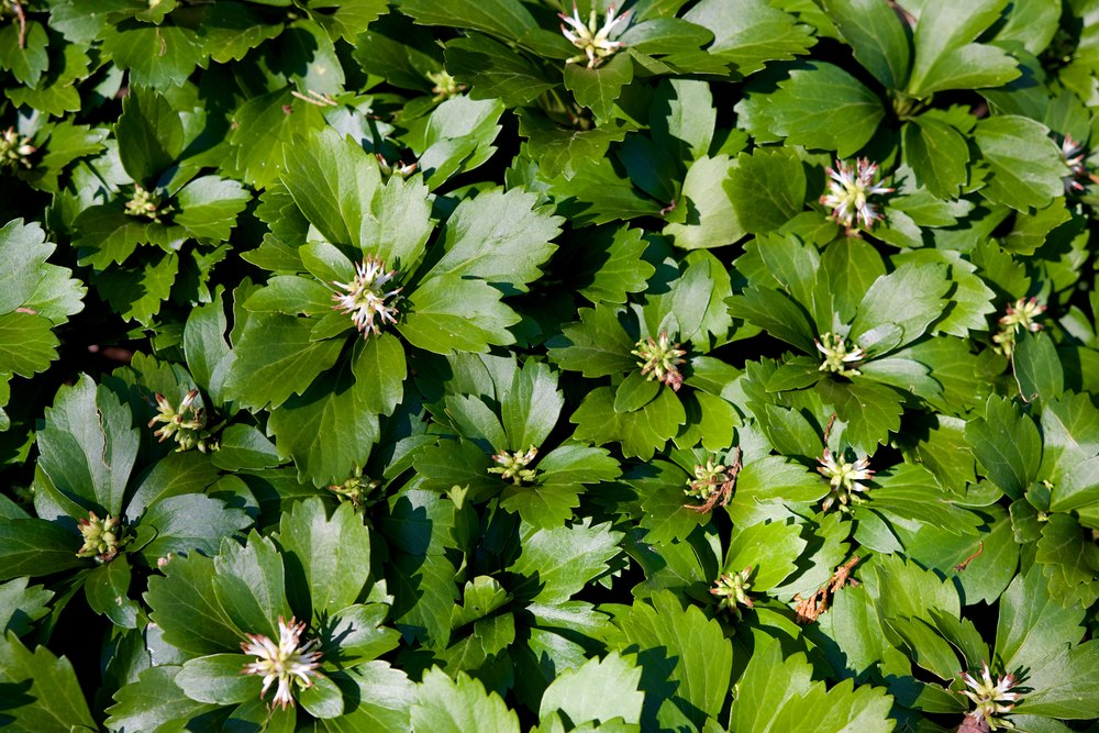 Common Pachysandra - JW Pachysandra Plants Ground Cover 148.jpg
