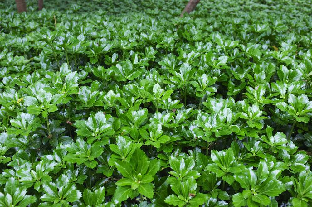 Green Sheen — JW-Pachysandra - The Nation's Largest Rare ...