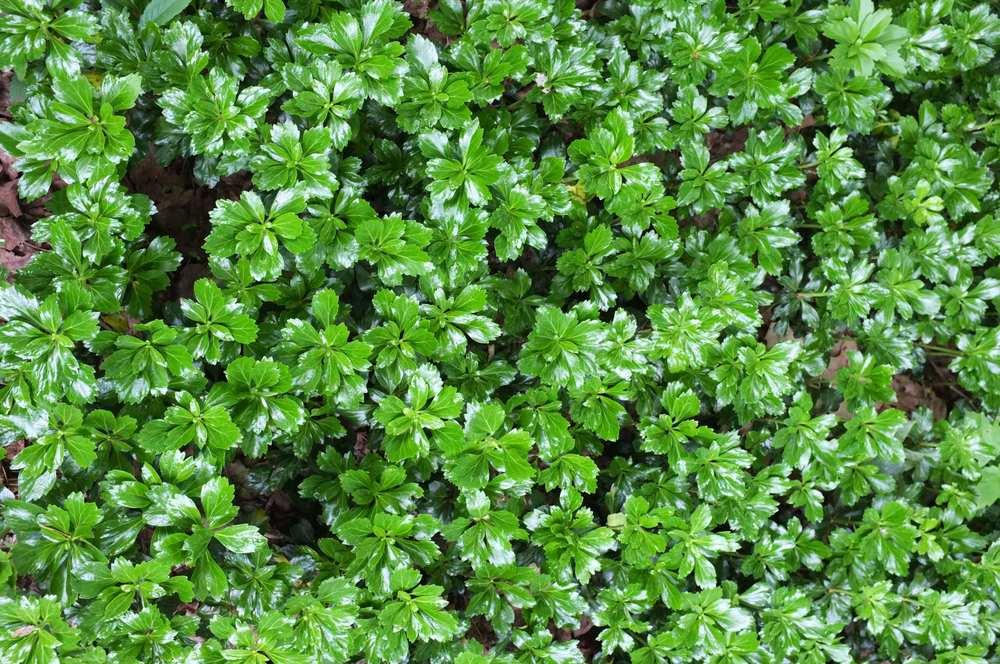 Green Sheen - JW Pachysandra Plants Ground Cover 29.jpg
