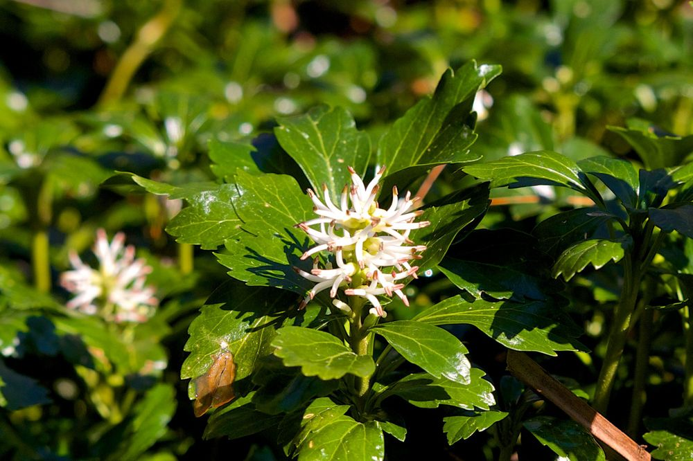 Green Sheen Flower - JW Pachysandra Plants Ground Cover 139.jpg