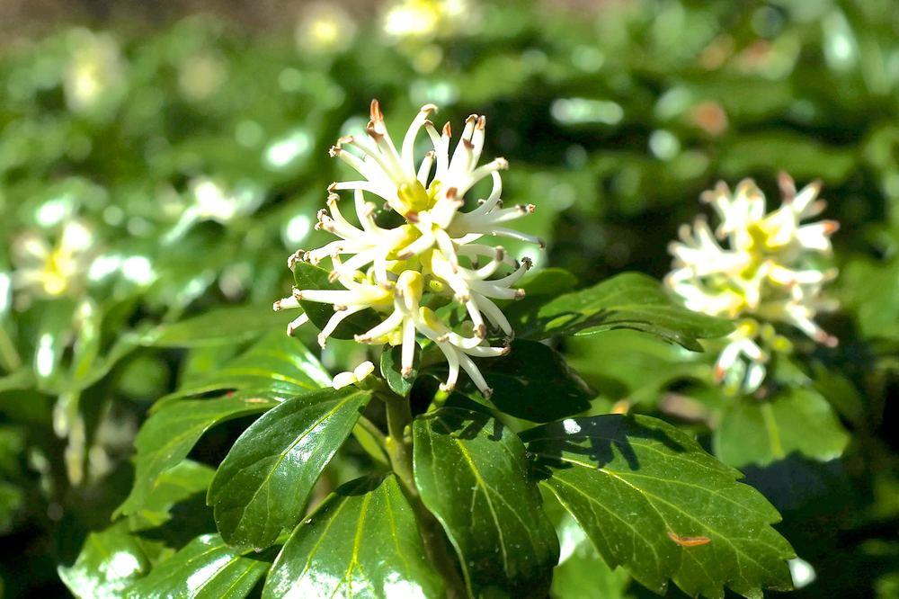 Green Sheen Flower - JW Pachysandra Plants Ground Cover 9.jpg
