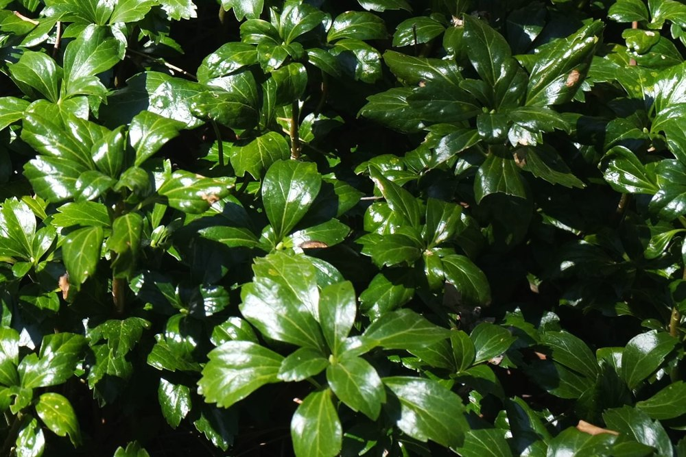 Green Sheen - JW Pachysandra Plants Ground Cover 13.jpg
