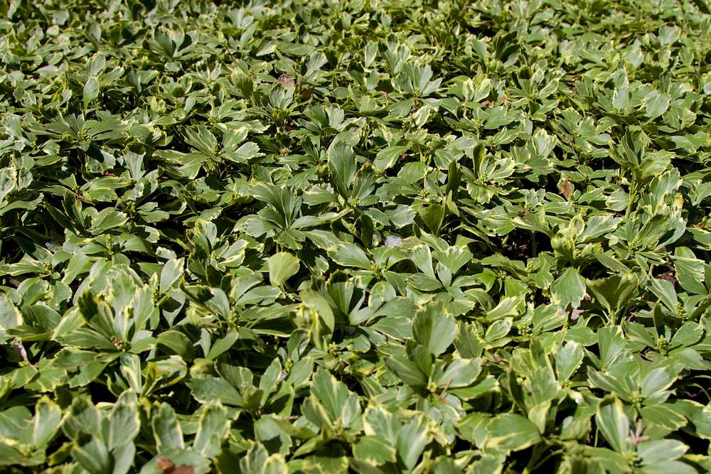 Silver Edge coming out of the winter - JW Pachysandra Plants Ground Cover 125.jpg