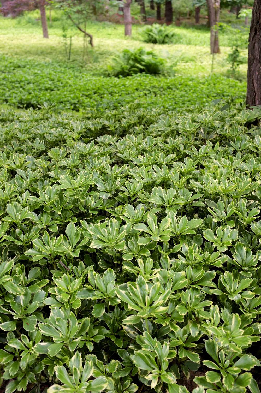 Silver Edge - JW Pachysandra Plants Ground Cover 33.jpg
