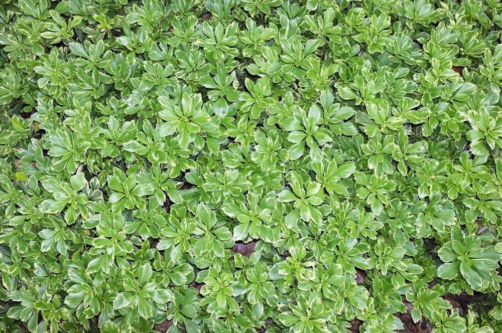 Silver Edge - JW Pachysandra Plants Ground Cover 31.jpg