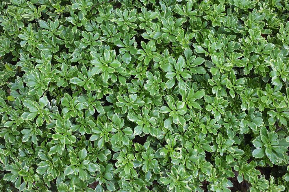 Silver Edge - JW Pachysandra Plants Ground Cover 32.jpg