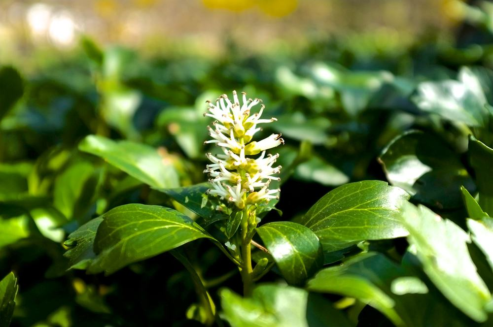 Green Carpet Flower - JW Pachysandra Plants Ground Cover 18.jpg