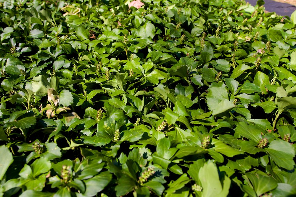 Pearl Common - JW Pachysandra Plants Ground Cover 129.jpg