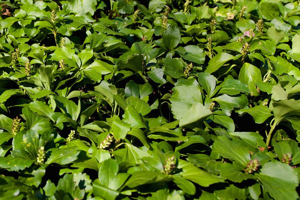 Pearl Common - JW Pachysandra Plants Ground Cover 129 copy.jpg