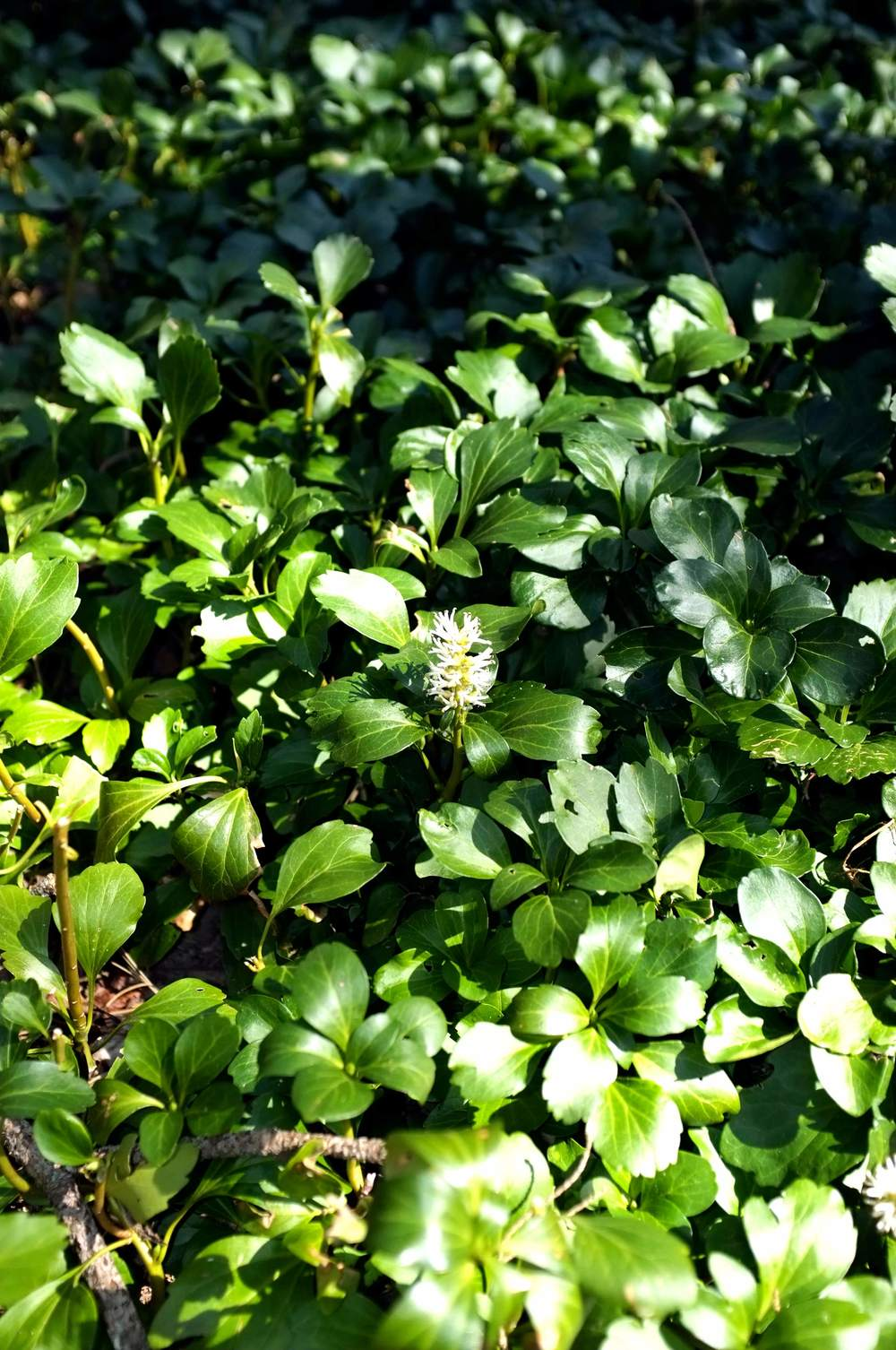 Pearl Common - JW Pachysandra Plants Ground Cover 19.jpg