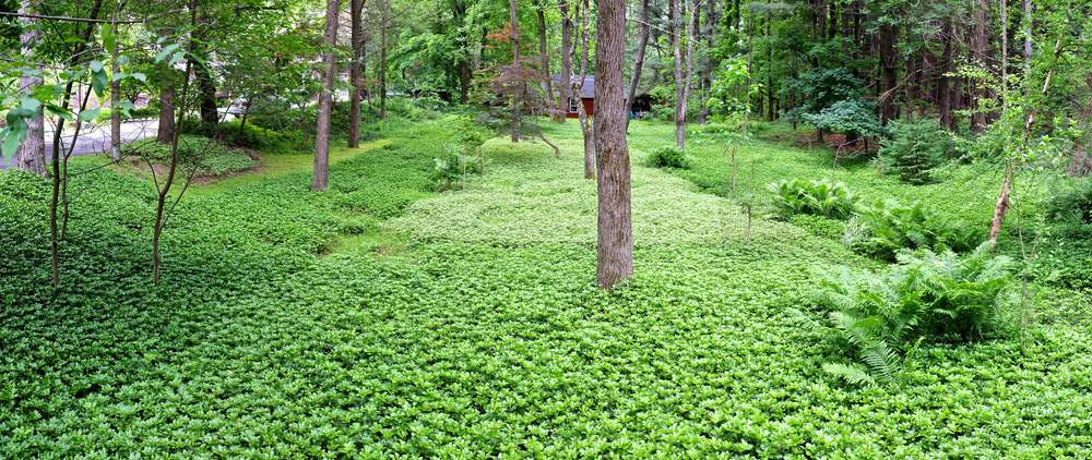 Panorama - JW Pachysandra Plants Ground Cover 40.jpg