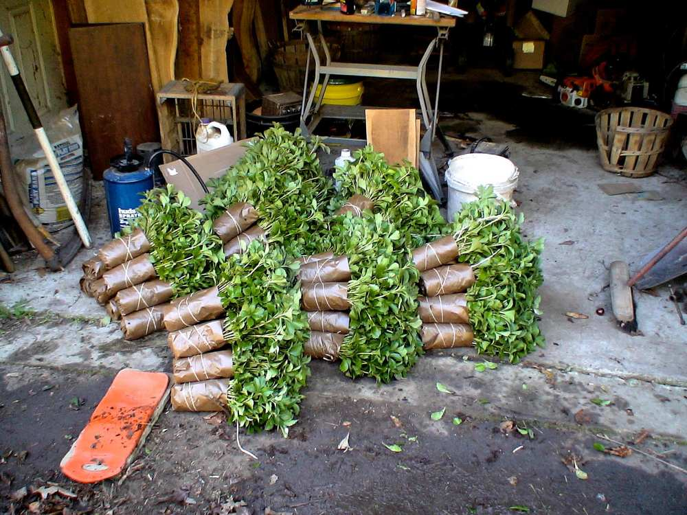 Shipping Plants - JW Pachysandra Plants Ground Cover 7.jpg